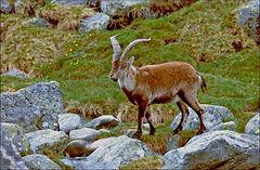 ibex in mountians.JPG