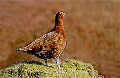 red grouse in heather.JPG