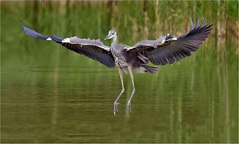 Heron 0513.JPG