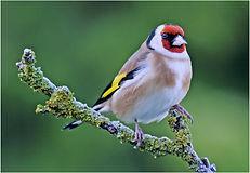 goldfinch on mossy twigg.JPG