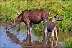 moose with calf at water hole.JPG