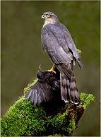 sparrowhawk with blackbird kill.JPG