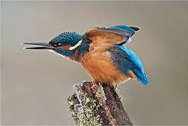 Kingfisher aggresion.JPG