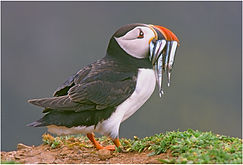 puffin with sand ell.JPG