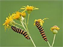 Cinnbar moth catterpillar on ragwart.JPG