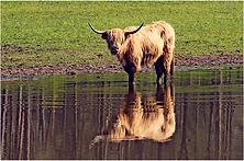 Highland Cattle reflection.JPG