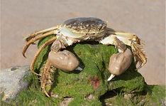 Mitten crab on rock.JPG