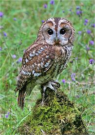 Tawny owl.JPG