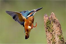 Female kingfisher landing on mossy stump.JPG