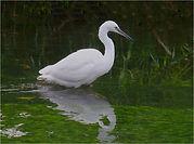 Little Egret.JPG