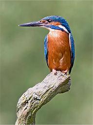Kingfisher 7911.JPG