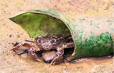 chines mitten crab in green bottle.JPG