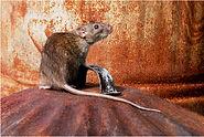 Brown Rat on dust bin lid 2021.JPG