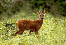Young Roe deer.JPG