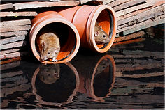 sewer rats in pipes.JPG