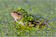 frog in chick weed.JPG
