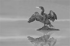 Cormorant in the misty conditions.JPG