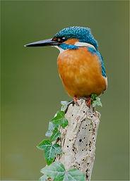 male kingfisher on rotten post.JPG