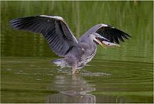 Heron catching fish in beak.JPG