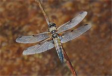 dragonfly 5392.JPG