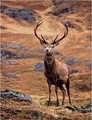 stag deer in highlands.JPG
