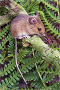 wood mouse on green branch.JPG