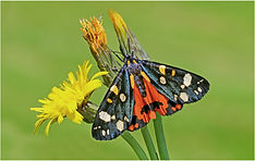 garden tiger moth.JPG