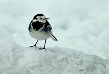 Pied Wagtail in snow 9.JPG
