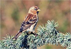 female redpoll on fur tree.JPG