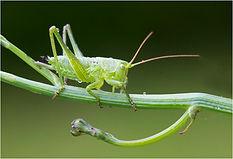 Green Bush Cricket.JPG