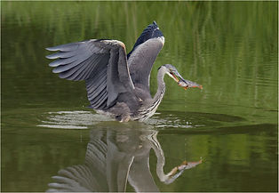 Heron diving and catching perch.JPG