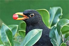 blackbird with berry.JPG