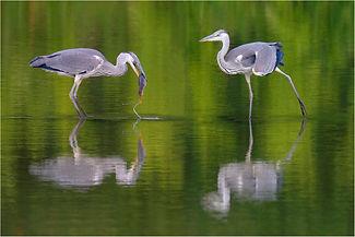 Two herons feeding on college lake.JPG