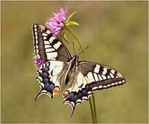 Swallow-tail butterfly.JPG