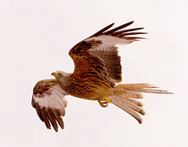kite in mid flight .JPG