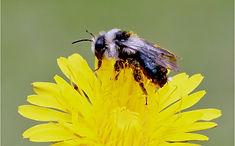 Wild Honey Bee on Dandilion flower.JPG