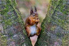 red squirrel new 2021.JPG