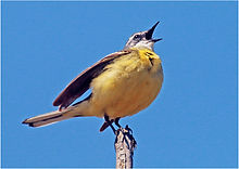 Yellow Wagtail singing on post .JPG