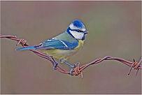 blue tit on barb wire.JPG