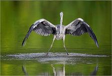Grey Heron landing on college lake.JPG