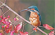 Female kingfisher on spindal berry good.