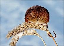 harvest mouse in winter.JPG