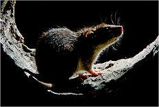 rat in sewer original.JPG