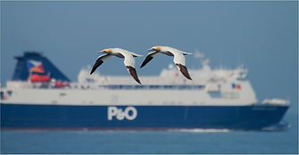 Gannets flying past P&O ferry .JPG