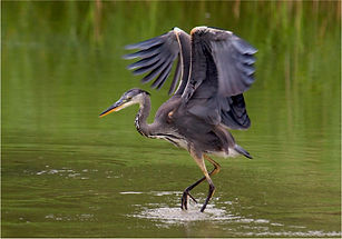 heron walking on water.JPG