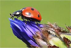 Ladybird beetle on cornflower bud.JPG