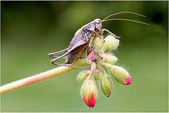 Common Brown cricket.JPG