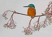 kingfisher on rowan tree .JPG