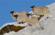 Black faced sheep.JPG