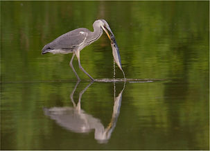 Young Heron catching very large fish.JPG